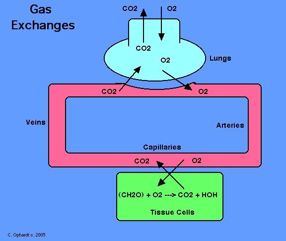 blood gas transport essay